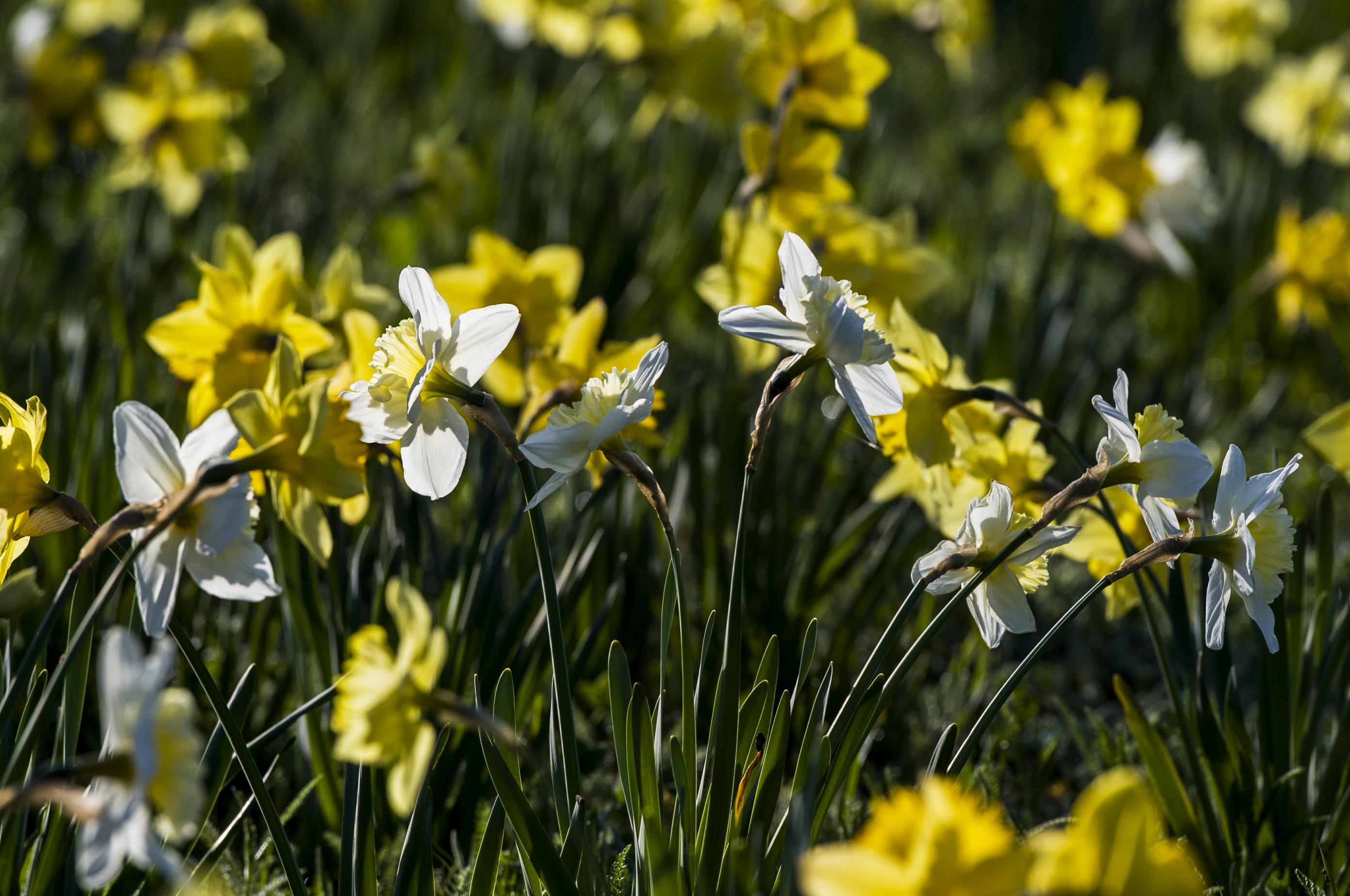 Blumen in Allensbach